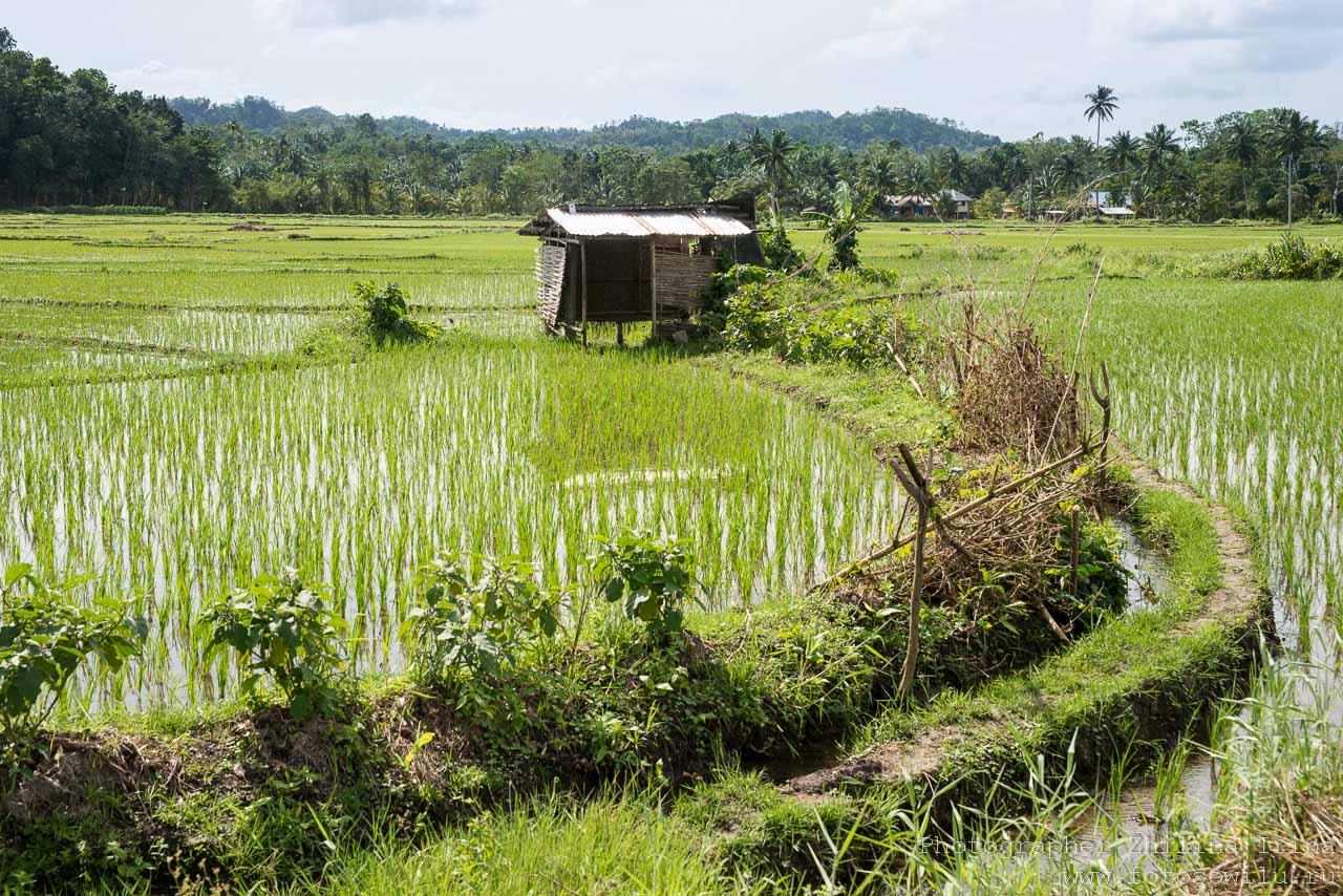 Бохол, по Бохолу на мопеде, путешествие по Филиппинам, что смотреть на Филиппинах, что смотреть на Бохоле, рисовые поля