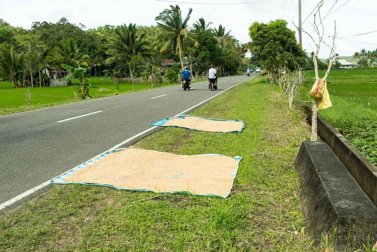 Остров Бохол, по Бохолу на мопеде, путешествие по Филиппинам, что смотреть на Филиппинах, что смотреть на Бохоле, рис